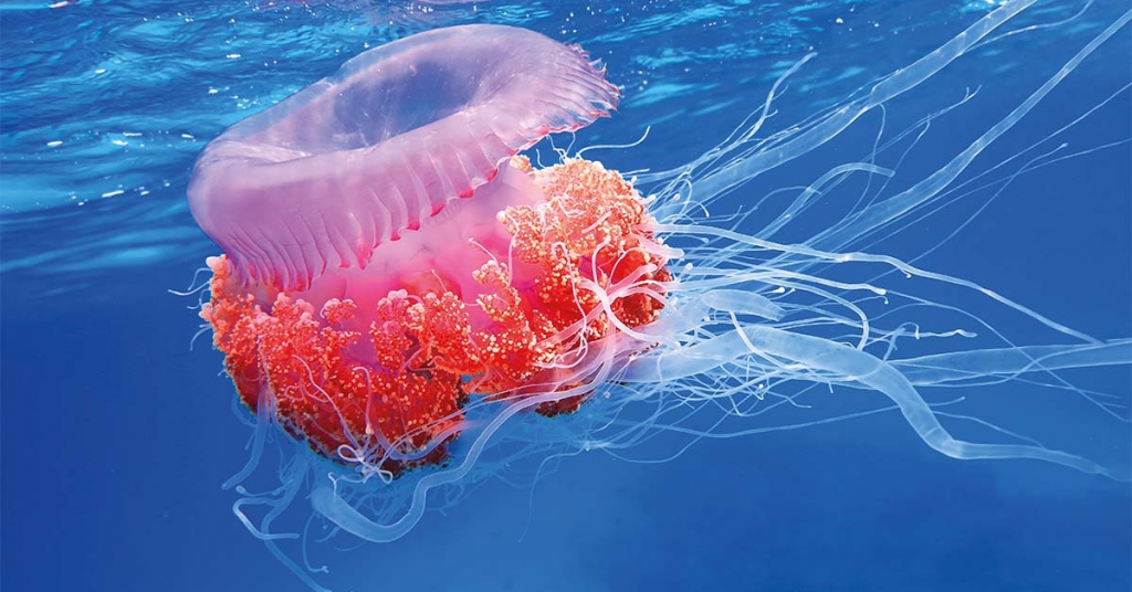 The Chemistry of Jellyfish is Fascinating to Learn About